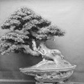 Bonsai (Nino Zganec)
